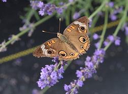 2015 Butterfly