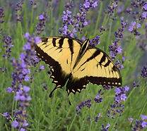 2016 Butterfly
