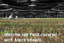 matcha-1