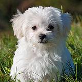 500x500-white-dog.jpg
