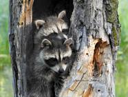 Baby Raccoons in Tree