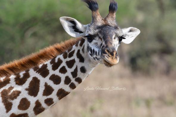 Young Masai Giraffe