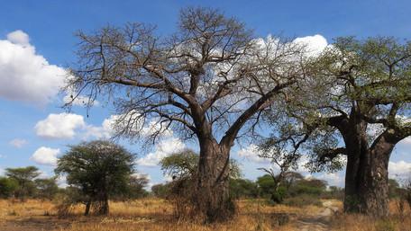 Baobob Trees