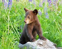 Bittner_cinnamon_black_bear_cub_lupine_w