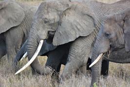 Savannha Elephant