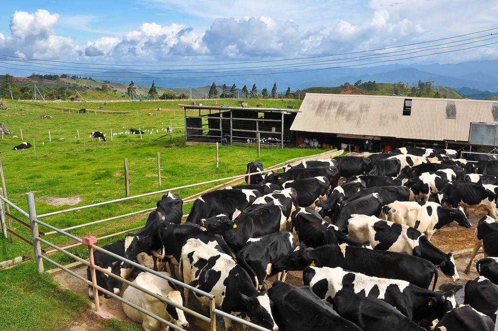 Desa Dairy Farm 04.jpg