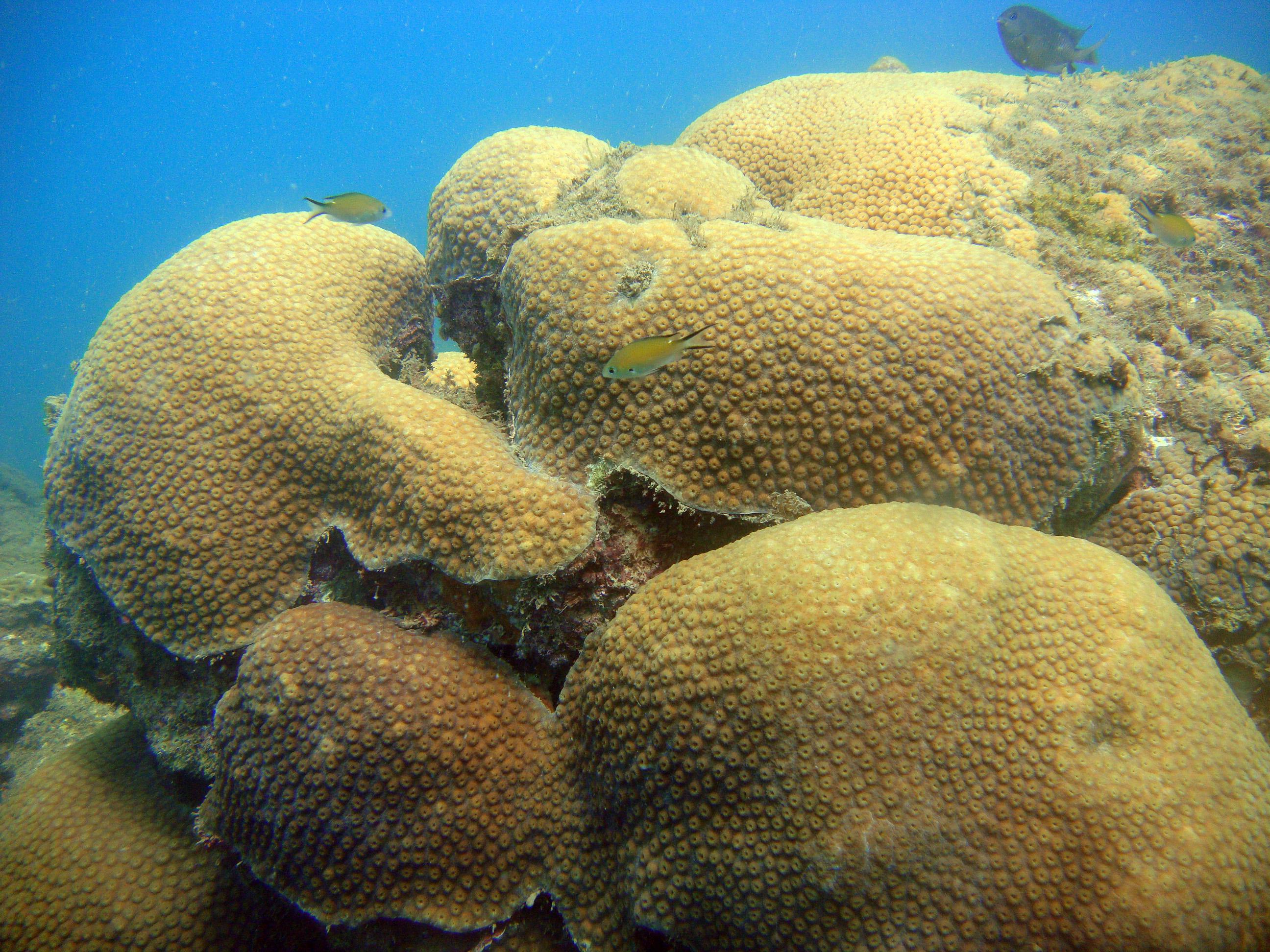 coralcelebro