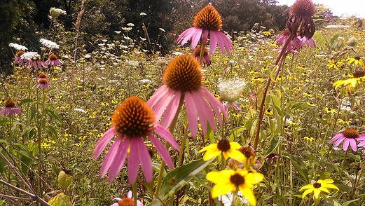 Minnesota Quail Forever, Native Prairie Flowers