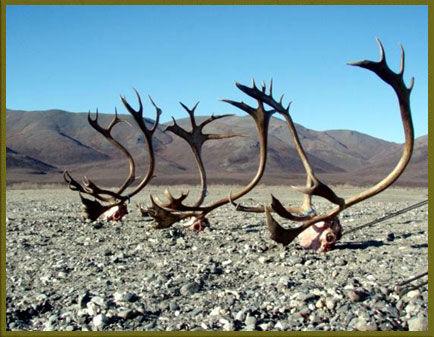 Alaska Caribou Huntng