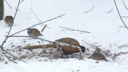 Minnesota Quail Forever, Quail and Pheasents