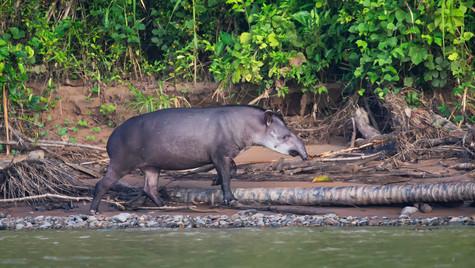 Tapir del Madidi
