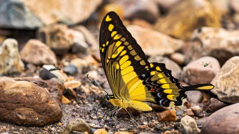 Mariposa de Bolivia