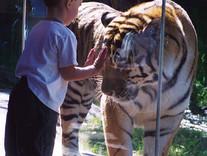 Mn Zoo Tiger Lair Exhibit
