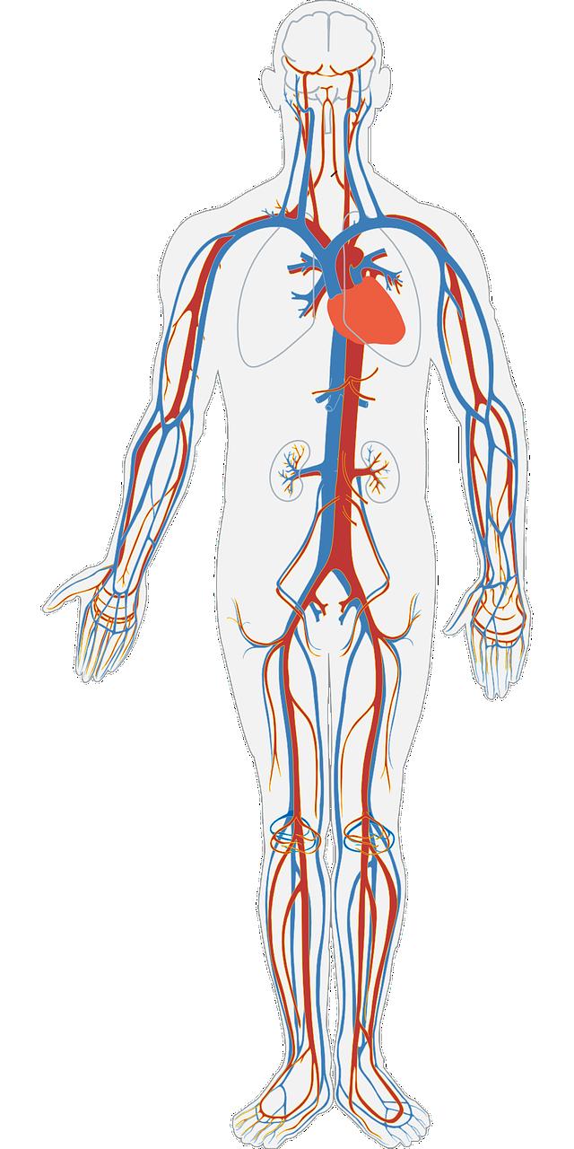 nervous system, organs, nerves, body