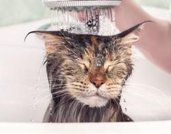 Cat bath. Wet kitten