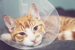 E-Collar Kitty