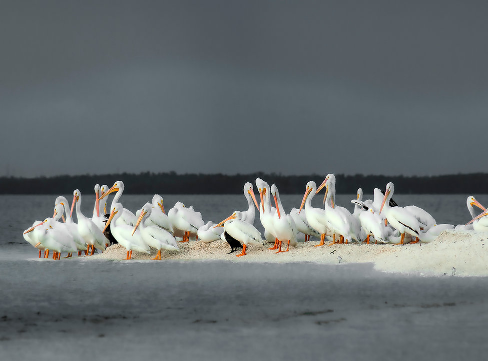 8.5x11.5black and white pelicans_flatten