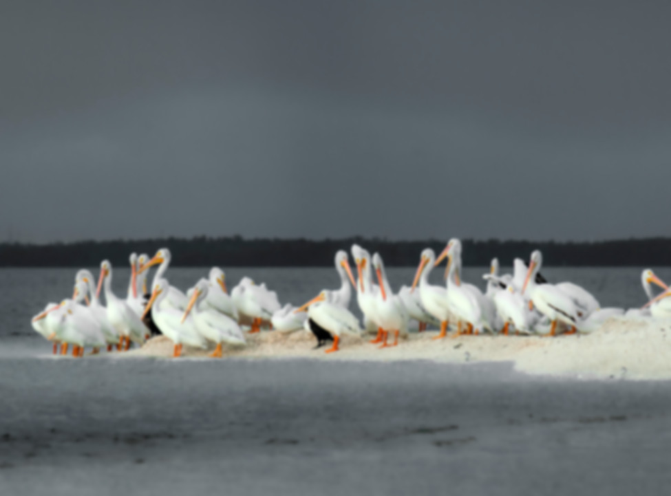 8.5x11.5black and white pelicans_flatten