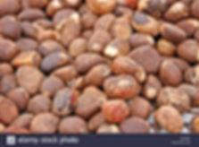 Tagua Seed | Tagua Seed| Brighton Co| Cerda Imports | United States