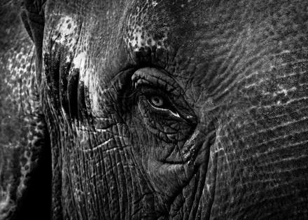 Elephant Tears