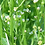 Thumbnail: Crambe Abyssinica Oil