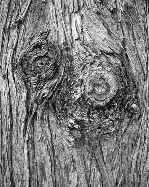 Pinus aracahuite, 2015.