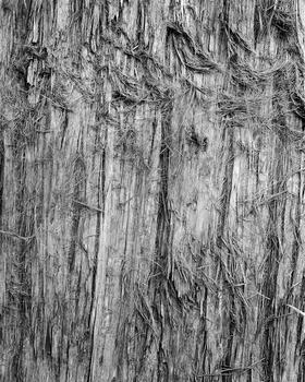 Eucalyptus sp., 2015.