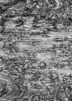 Araucaria cunninghamii, 2015.