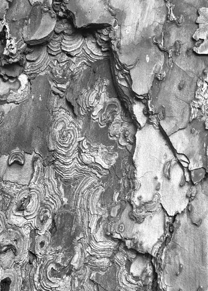 Pinus radiata, 2015.