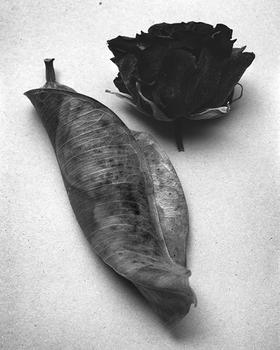 Dried fig leaf and rose, 2015.