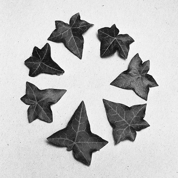 Seven English Ivy leaves, 2015.