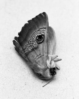 Moth, 2015.