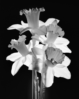 Narcissus, 2014.