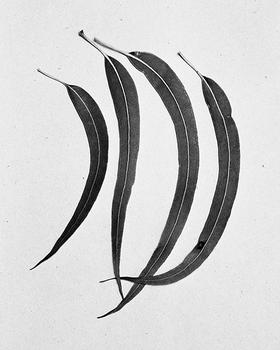 Four eucalytpus leaves, 2015.