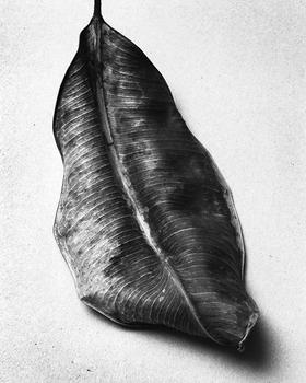 Dried fig leaf, 2015.