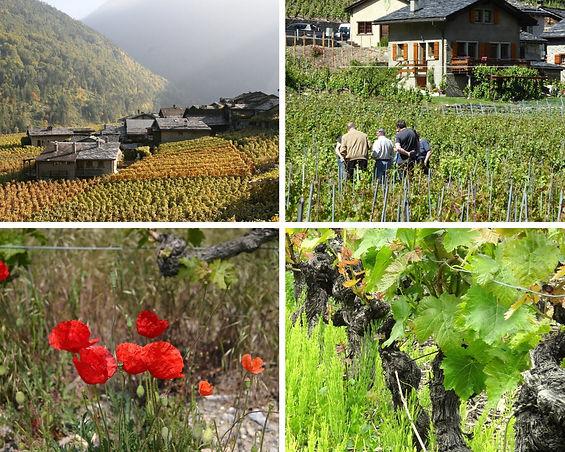 Les cépages du Bas Valais; Plans Cerisier et son Gamay et Fully et  sa Petit-Arvine