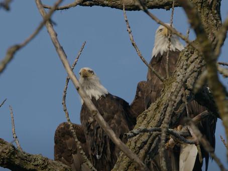 Bald Eagle Family Feast!
