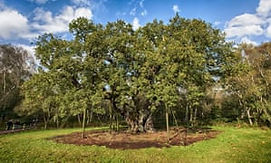 Major-oak-in-Sherwood-For-010.jpg