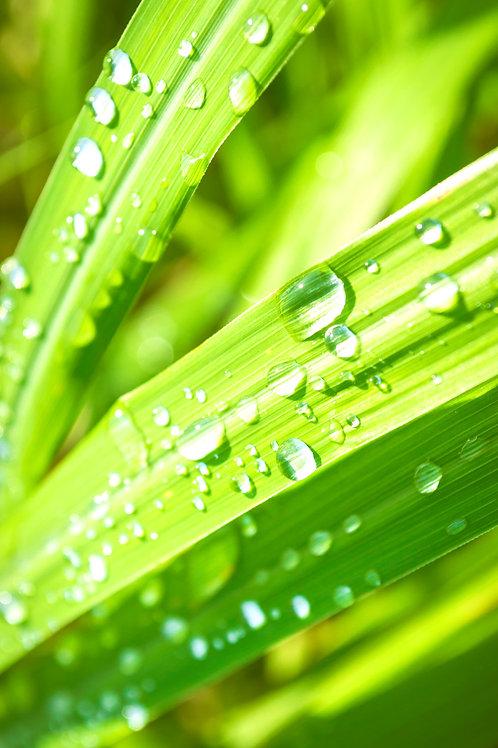 Organic Malawian May Chang Essential Oil