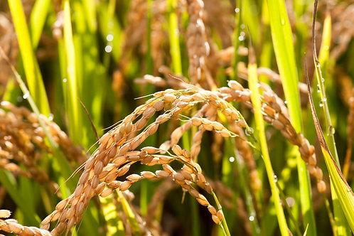 European Rice Bran Oil