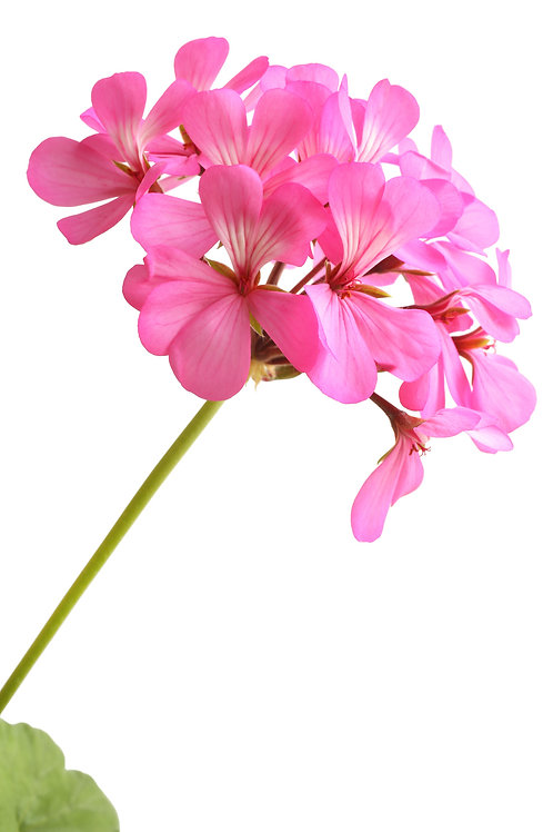 Egyptian Rose-Geranium Essential Oil