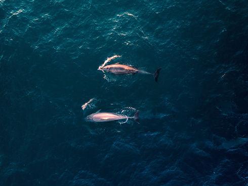Delfin rosado 1.jpg