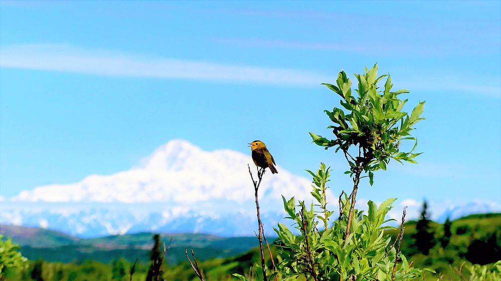 Wilsons Warbler in front of Denali
