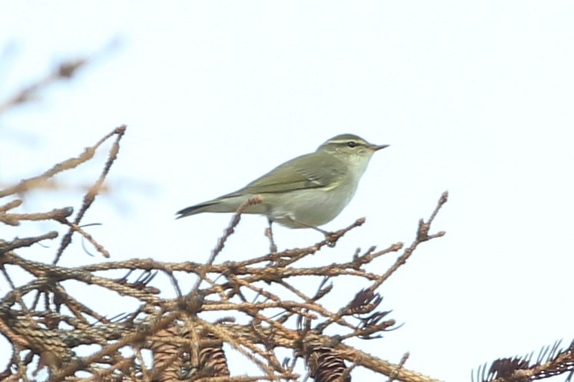 Arctic Warbler at Caribou Lodge Alaska near Denali Park
