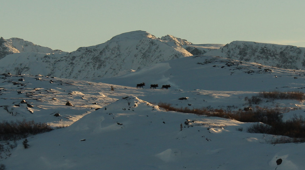 3 bull moose in snow.jpg
