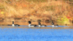 Barrow's Goldeneye migrate to Alaska every year and many find refuge righ here at Caribou Lodge