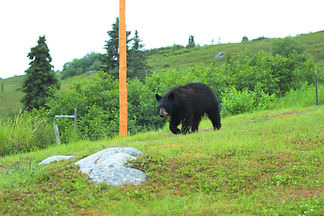 Black bear and Grizzly bear both live in the Talkeetna mountains around Caribou Lodge