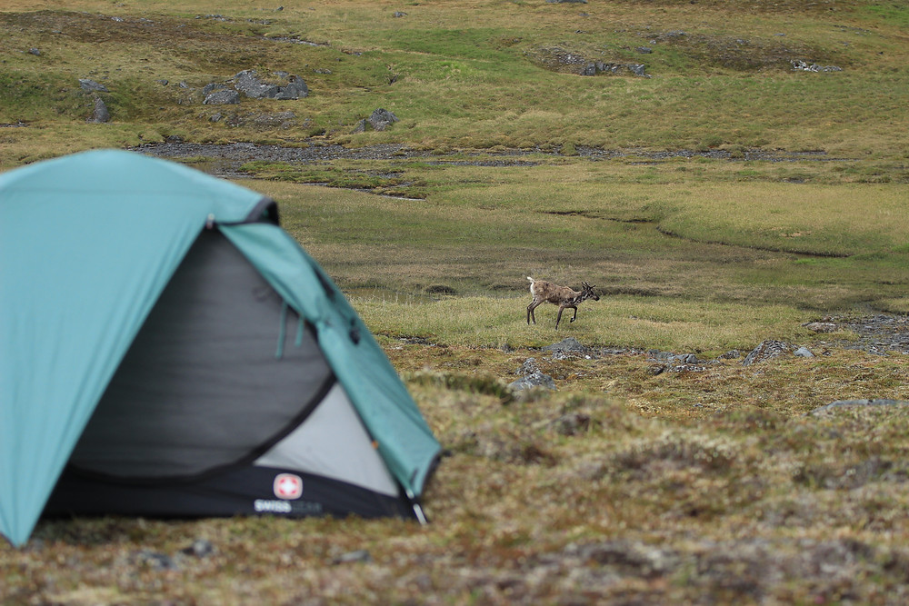 A Caribou Walking Through Camp
