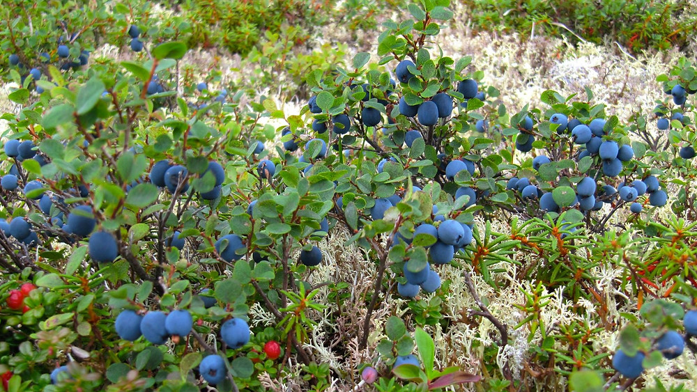 The blueberries almost outnumber the leaves on this bush at the peak of growing season in south-central Alaska