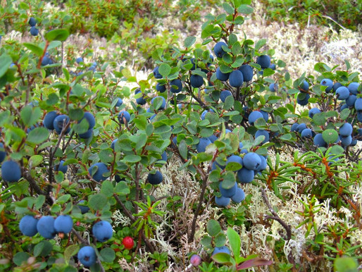 Blueberries of South-central Alaska